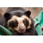Вышел перуанский соль «Очковый медведь»